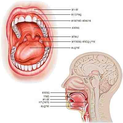Comment est constitué la bouche ?