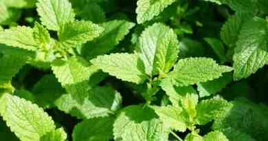 Comment consommer la menthe verte ?