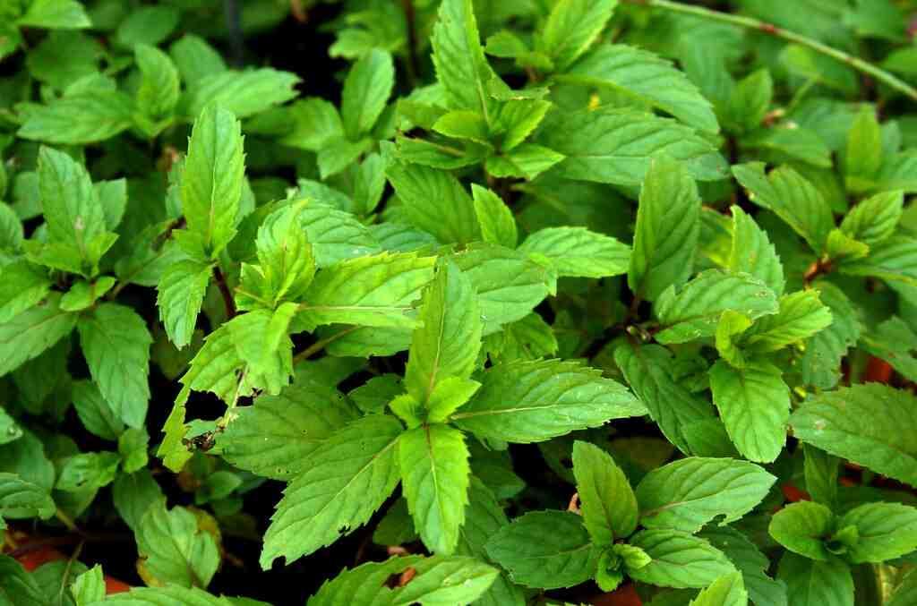 Comment consommer les feuilles de menthe ?