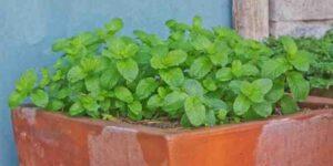 Est-ce que les feuilles de menthe se mange ?
