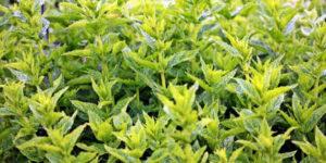 Quels sont les bienfaits des feuilles de menthe ?